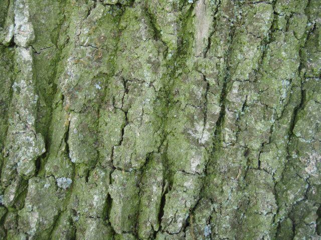 Eiche-quer rüber Borke 969_3_Quercus-robur-Stiel-oder-Deutsche-Eiche